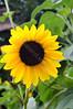 3759 - July Yellow Sunflower