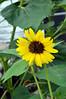 3755 - sunflower