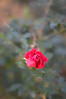 Lovely fall rosebud