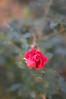 Lovely fall rosebud
